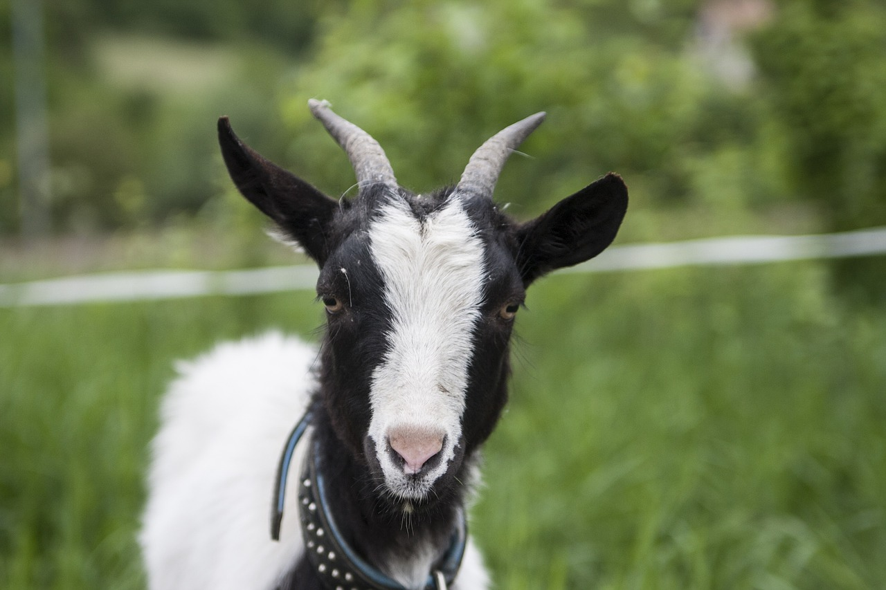 Did you know that goats discovered coffee?